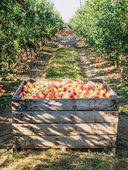 Casse di legno piene di mele mature durante il periodo di raccolta annuale