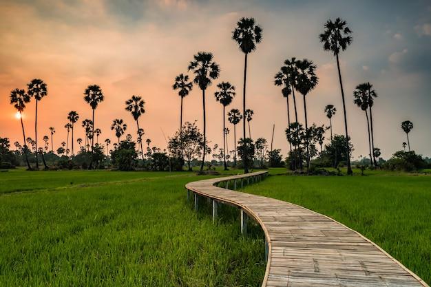 Sentiero curvo in legno sentiero del campo di risone e palma da zucchero al tramonto, pathum thani, thailandia. famosa destinazione di viaggio naturale nel siam, paese tropicale.