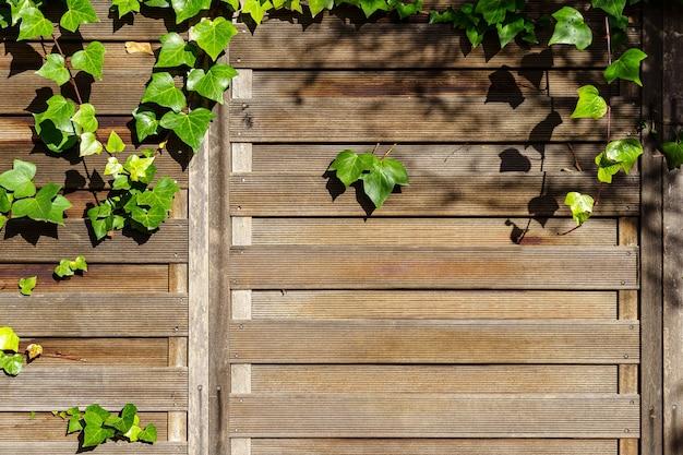Priorità bassa di struttura della parete in legno in giardino con foglie di edera verde aggrovigliate sul muro. spagna.