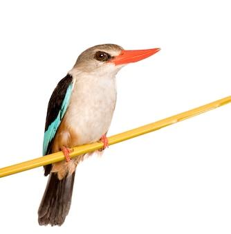 Martin pescatore del terreno boscoso - senegalensis di halcyon isolato.