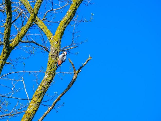 Picchio su un tronco d'albero secco contro il cielo azzurro in una giornata di sole