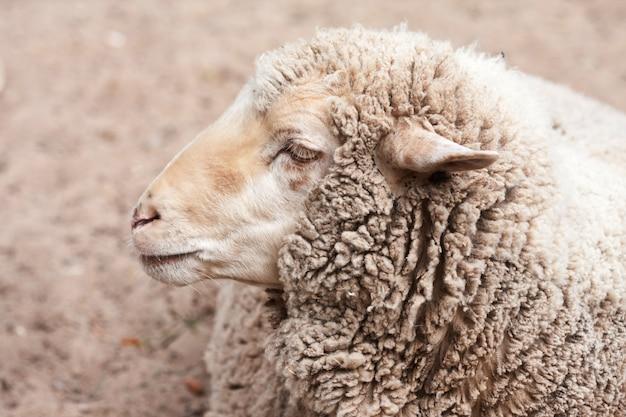 Pecore lanose in zoo Foto Premium