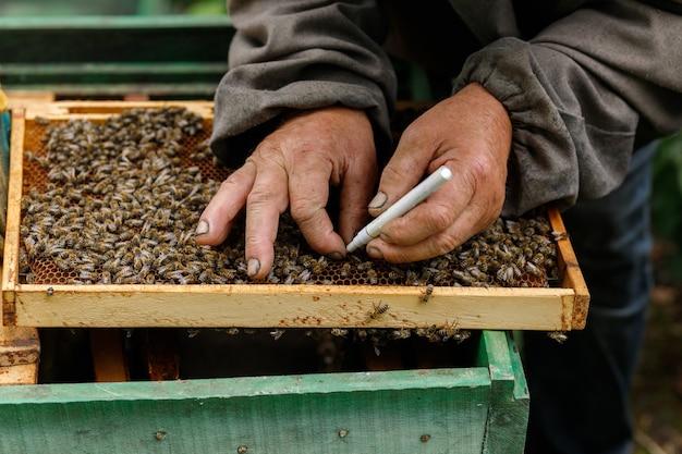 Lavoro al pascolo. l'apicoltore nota l'ape regina