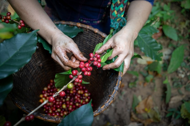 Bacche di caffè di typica del raccolto del lavoratore sul suo ramo, affare dell'industria economica di agricoltura, alimento salutare e stile di vita, a nord della tailandia.