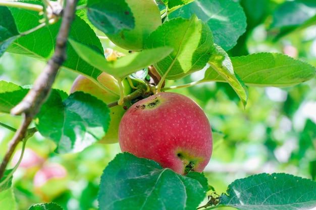 Una mela verminata con evidenti segni di lesione che cresce su un ramo. malattia degli alberi da giardino