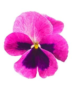 Corona di fiori. set di viole del pensiero isolato su sfondo bianco