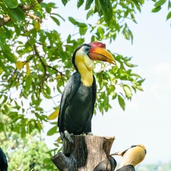 Hornbill rugoso, sunda hornbill rugoso o aceros corrugatus. è un grande uccello con piume nere e il collo è giallo brillante, il casco rosso in cima al becco è posato su un albero in thailandia