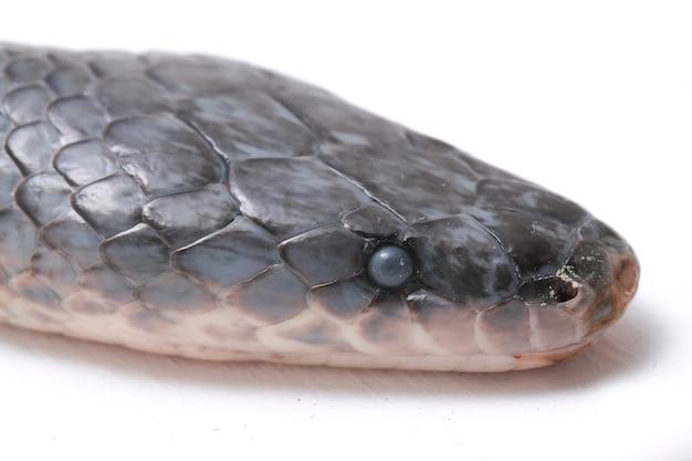 Xenopeltis serpente unicolor isolato