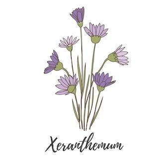 Vettore botanico disegnato a mano della pianta del fiore di xeranthemum