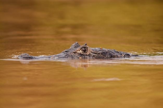Caimano yacare che nuota nel fiume e fa breccia nella superficie dell'acqua