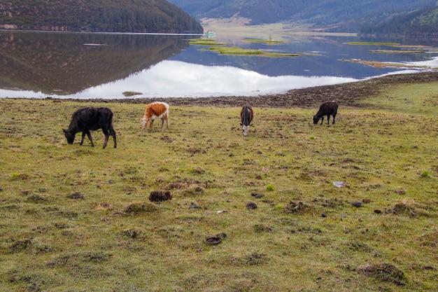 Yak che mangia erba sul lato del lago