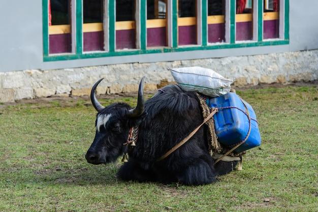 Yak in nepal Foto Premium