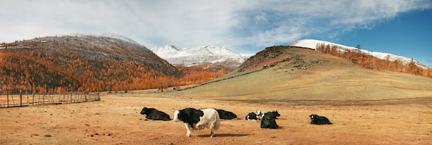 Yaki su un alpeggio in mongolia