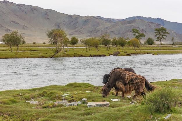 Gli yak pascolano nella steppa vicino al fiume dell'altai mongolo.