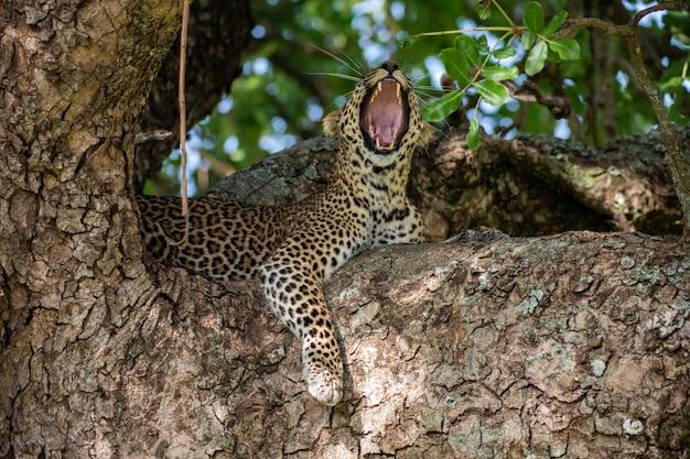 Yawing leopard sull'albero
