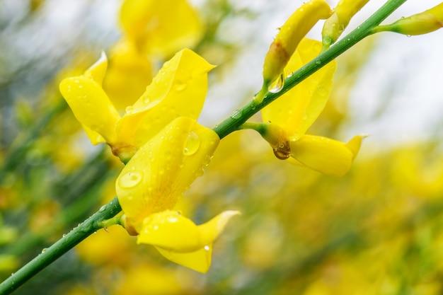 Fiore giallo dell'acacia dopo il primo piano della pioggia. primavera, natura dopo pioggia.