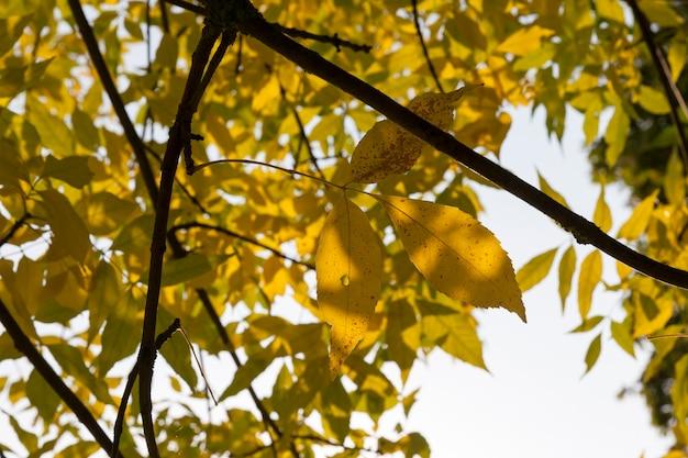 Fogliame di cenere gialla nella stagione autunnale nel parco cittadino, primo piano