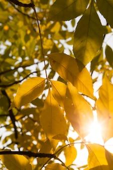 Fogliame di frassino giallo attraverso cui splende il sole dell'arancio, l'ora del tramonto nella stagione autunnale, parco, primo piano