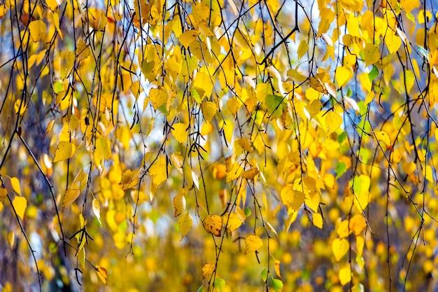 Foglie gialle della betulla di autunno si chiudono su