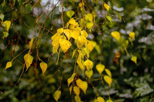 La betulla gialla di autunno lascia su un albero durante la pioggia