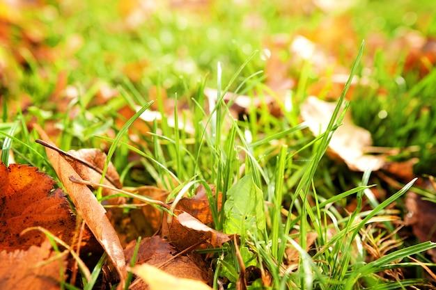 Fogli di autunno gialli su erba nel bellissimo primo piano del parco di caduta.