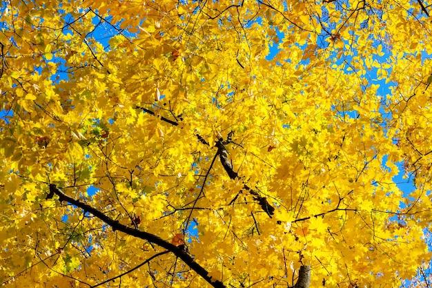 Foglie gialle di autunno su un albero su uno sfondo di cielo blu con tempo soleggiato_