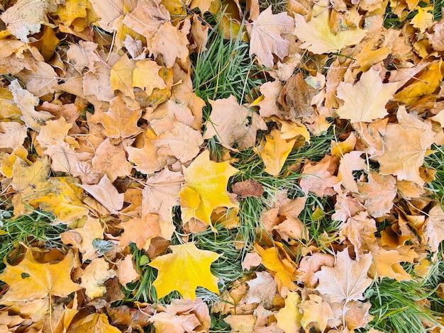 Foglie di autunno gialle con brina bianca che si trova sul fondo del primo piano dell'erba verde