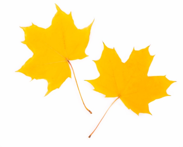Foglia di acero gialla di autunno isolata su fondo bianco.