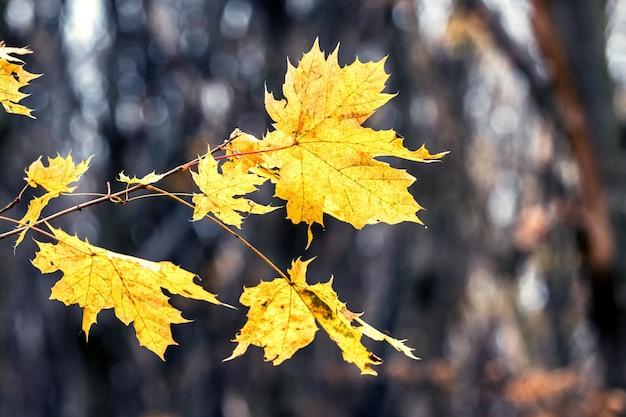 Foglie di acero gialle autunnali su uno sfondo di alberi scuri nella foresta