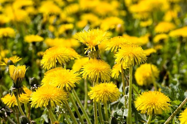 Denti di leone belli gialli nel campo con erba verde nel campo di primavera