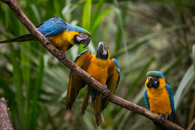 Macaw dal becco giallo (ara ararauna) a yungas, coroico, bolivia