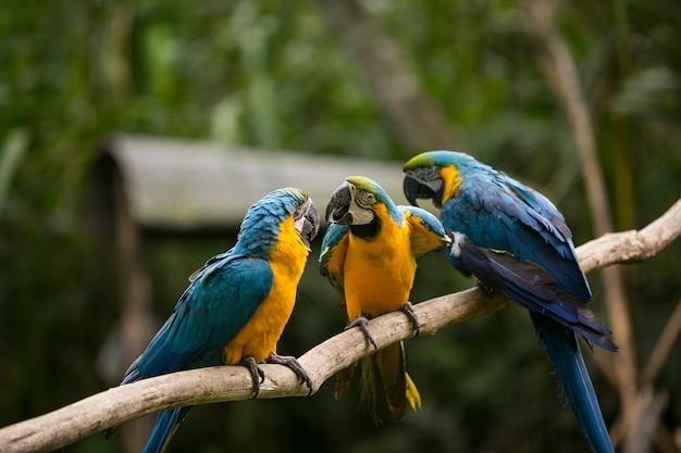 Ara dal becco giallo a yungas, coroico, bolivia