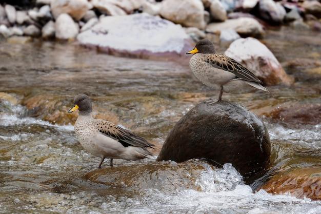 Acqua gialla (anas flavirostris), bella scena di una coppia di anatre appollaiate su una pietra in un fiume calmo negli altopiani centrali del perù. huancayo - junin