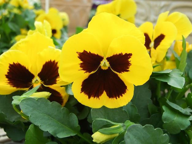 Primo piano giallo e nero di viole del pensiero del fiore variopinto della pansé