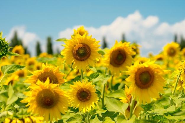 Girasoli sbocciati gialli su un campo