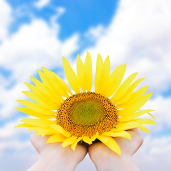 Girasole giallo brillante nelle mani del primo piano contro il cielo blu con nuvole