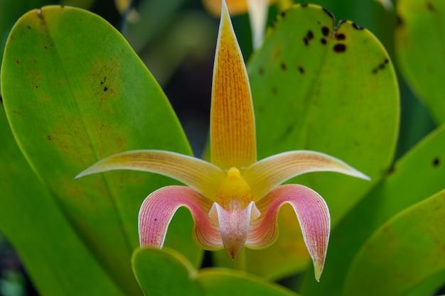 Primo piano di fioritura dell'orchidea gialla di bulbophyllum
