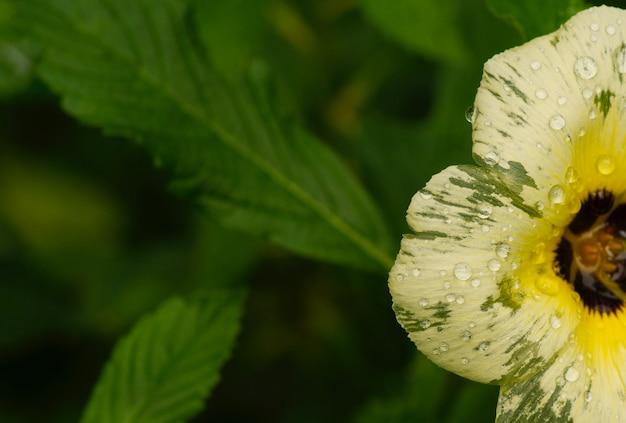 Un fiore giallo ranuncolo con gocce d'acqua