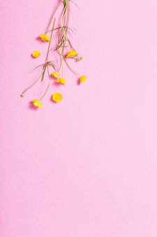 Ranuncoli gialli su sfondo rosa