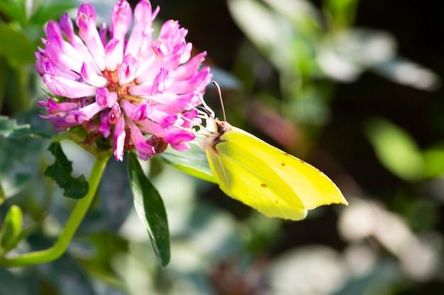 Farfalla gialla su un fiore di trifoglio rosa, sfondo estivo e primaverile