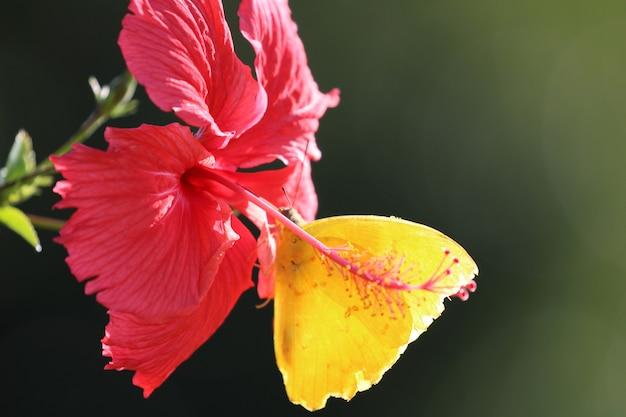 Farfalla gialla su un fiore rosso.