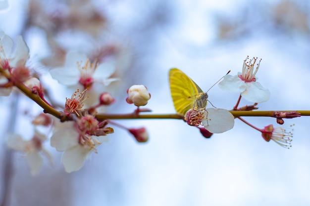 Una farfalla gialla si siede su un ramo di sakura con fiori bianchi