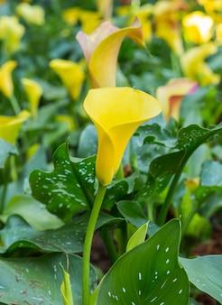 Fine gialla del fiore di lilly della calla su