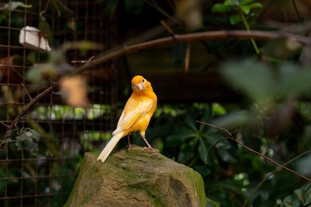 Giallo canarino seduto su una pietra all'aperto tra i rami degli alberi e le foglie verdi