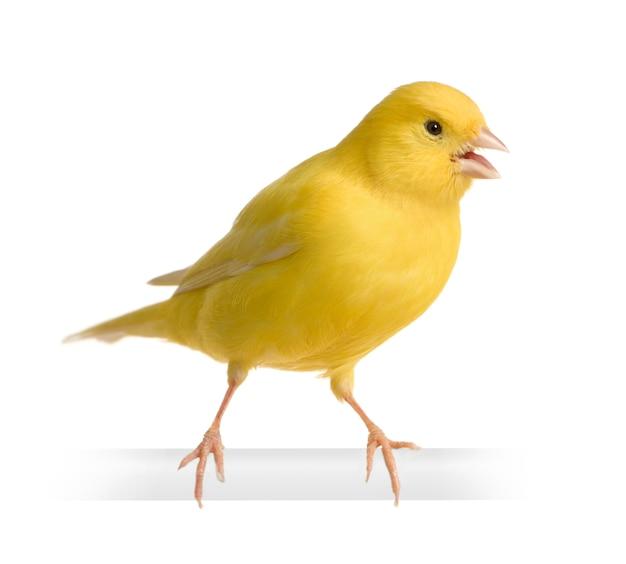 Canarino giallo - serinus canaria sul suo trespolo isolato