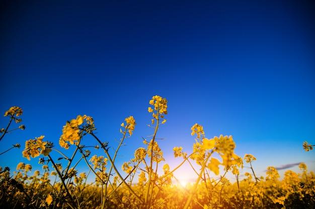 Campo di canola giallo alla luce del sole. posizione luogo rurale dell'ucraina, europa. fiori di stupro. superficie fresca di stagione. concetto di ecologia. mondo della bellezza.