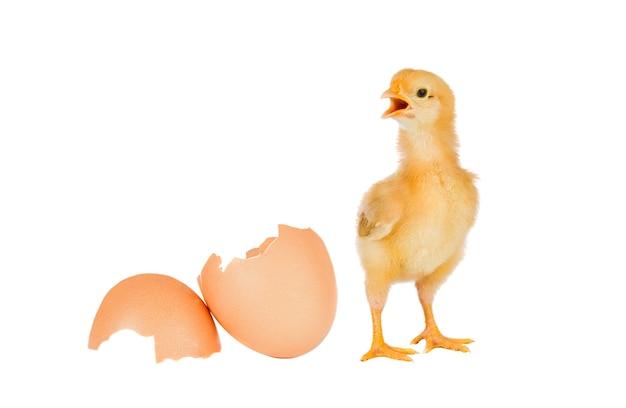 Pollo giallo isolato su sfondo bianco