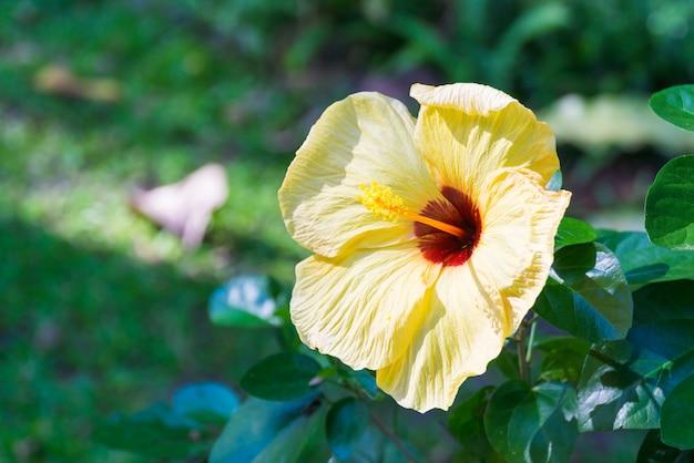 Fiore di rosa cinese giallo nel giardino.