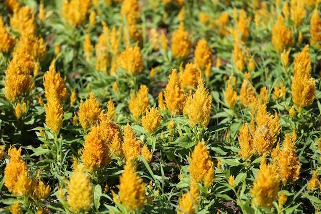 Giallo di cresta di gallo fiore in fiore e sole mattutino nel giardino fiorito.
