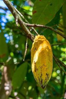 Fava di cacao gialla sull'albero in indonesia, primo piano